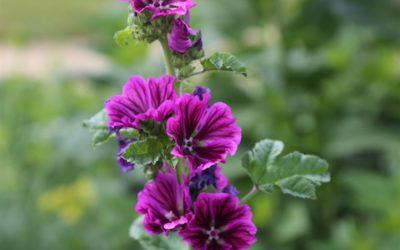Les fleurs de Mauve