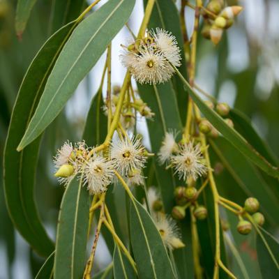 Eucalyptus contre les petits maux de l'hiver